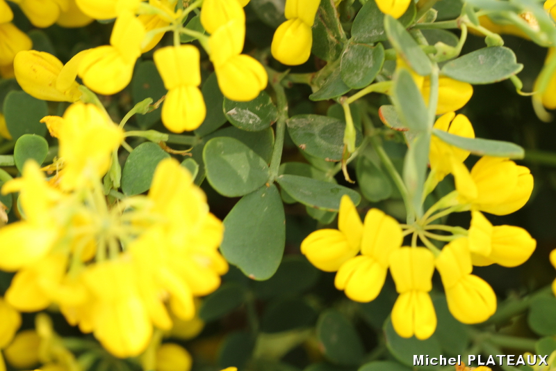 Arbuste A Fleurs Jaunes Biodiv Balma